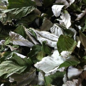 Raspberry leaves drying to make tea!