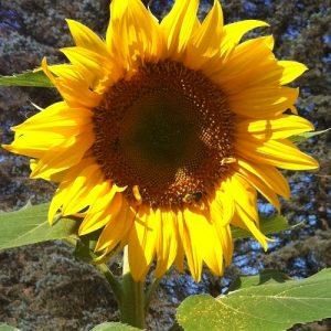 Mammoth Sunflower in its glory!